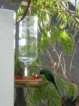 Fountain Place Guesthouse: Malachite Sunbird on feeder in courtyard