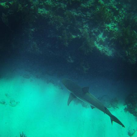 Looe Key (Florida Keys National Marine Sanctuary): Requin