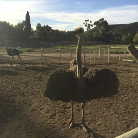 Chandelier Game Lodge & Ostrich Show Farm: Posing Ostrich after riding one!!