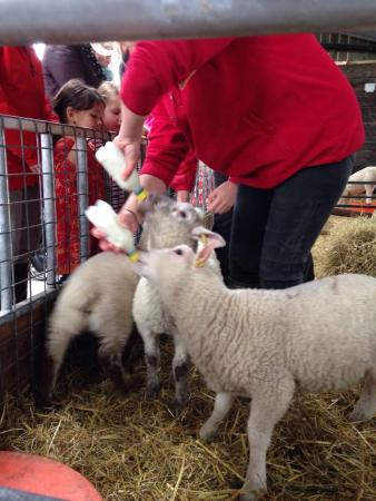 Cattle Country Adventure Park: Baby lambs