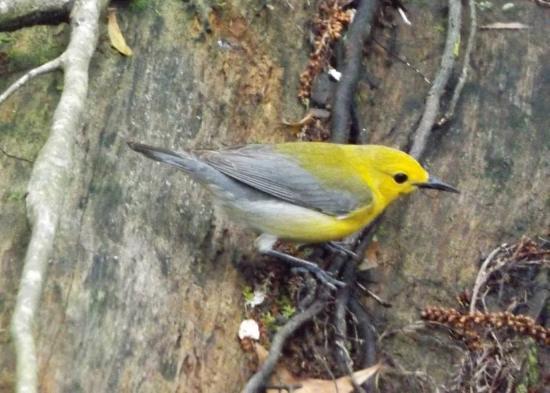 Harleyville, SC: Prothonotary Warbler
