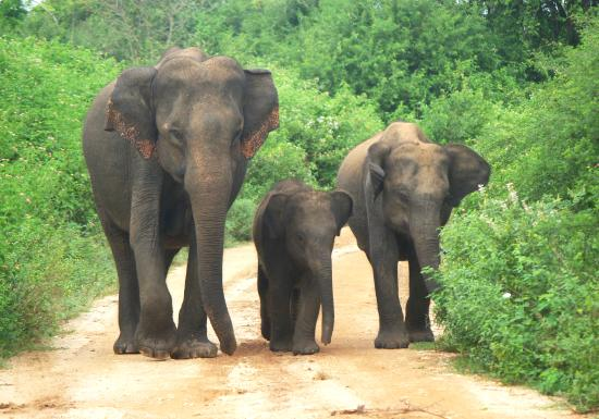Uda Walawe National Park, Sri Lanka: Three elephants