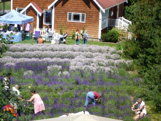 Purple Haze Lavender Farm during 3rd weekend - Lavender weekend