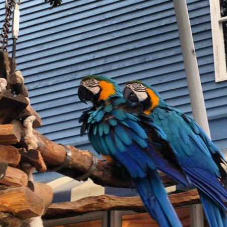 South Beach Inn: Parrots at the Inn