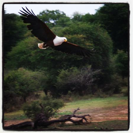Swartwater, Südafrika: The famous African fish eagle