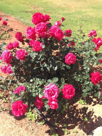Asterias Beach Hotel: Шикарные розы на территории