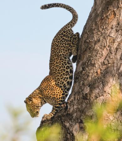 Khakiweed Photographic Safaris: Leopard decending tree