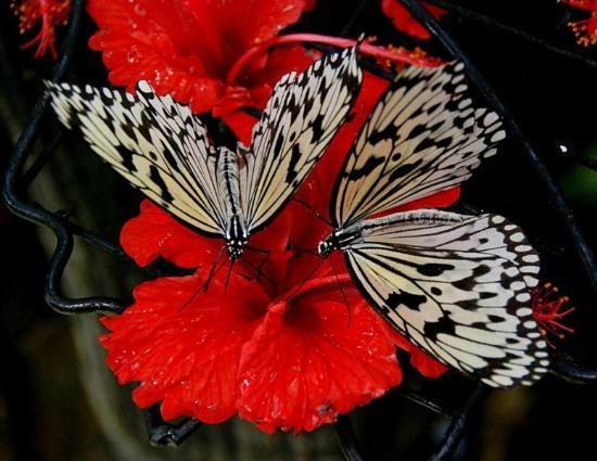 Teluk Bahang, Malaysia: déjeuner des papillons
