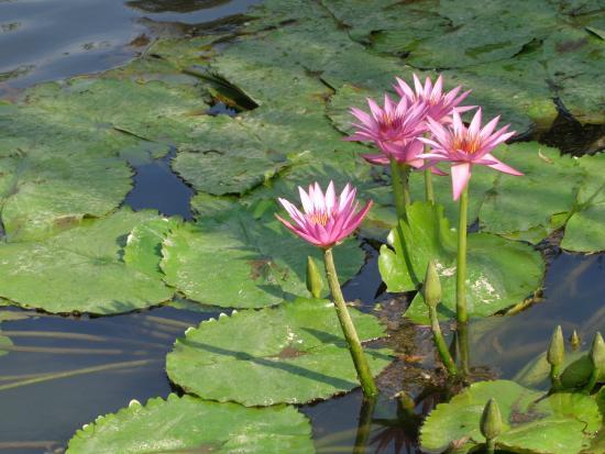 Foto de jardin japones buenos aires flores de planta for Plantas jardin japones