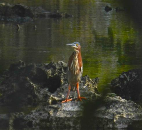 Pirates Point Resort : green heron