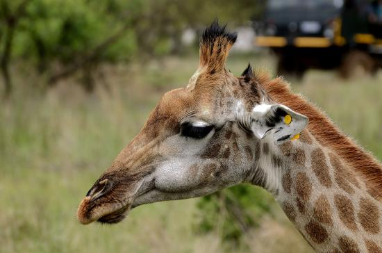 The Farm Inn: Giraffe