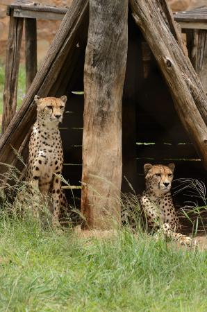The Farm Inn: Cheetahs