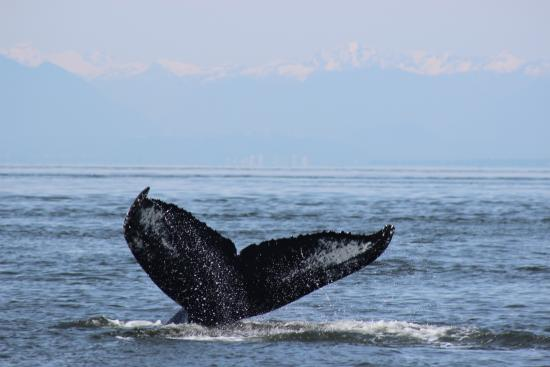 Sidney Whale Watching: Humpback