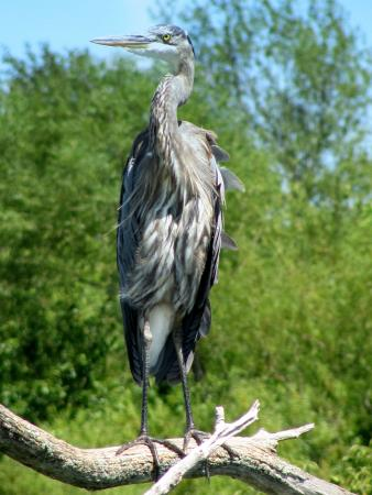 New Castle, IN: Blue Herron on Summit Lake