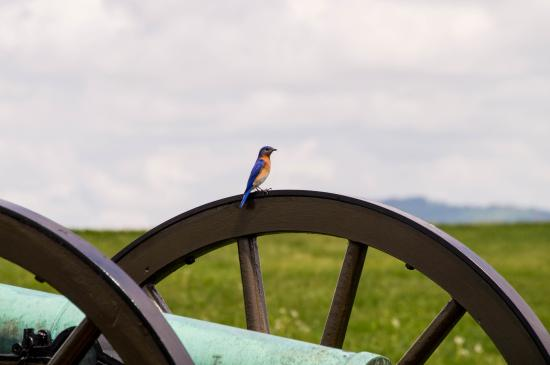 Sharpsburg, MD: Little bird sitting on a canon wheel on the way back to the car