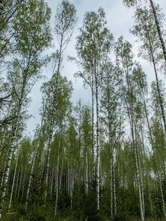Niihaman Maja: Woods