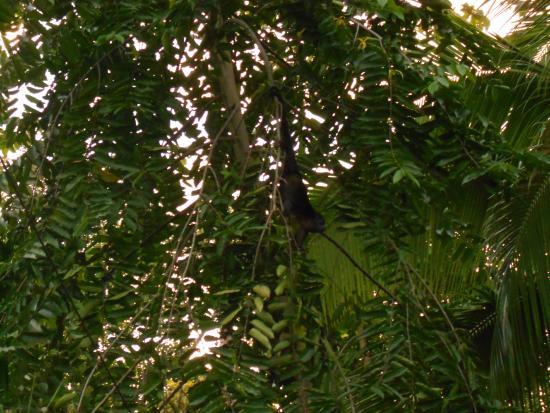 Cabinas Caribe Luna: monkey!