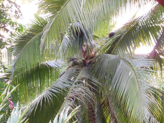 Cabinas Caribe Luna: coco!