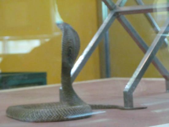 Guindy Snake Park: Cobra