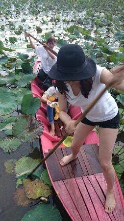 Surin Province, تايلاند: Lotus field (Surin,Thailand)