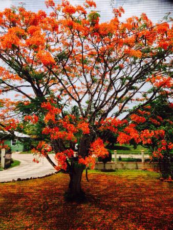 The Inn at Twin Palms: Beautiful tropical tree just burst into blooms and first rain created a carpet on the front lawn