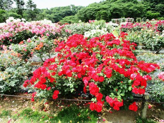 Ikuta Ryokuchi Rose Garden