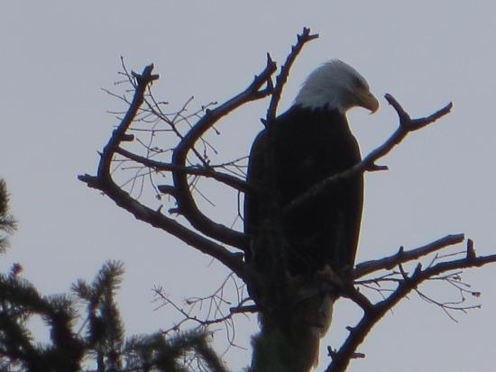 Graycliff Cottage Oceanfront B&B: Property resident. The beautiful Canadian Eagle