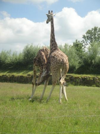 girafes photo de parc animalier et botanique de branf r le guerno tripadvisor. Black Bedroom Furniture Sets. Home Design Ideas