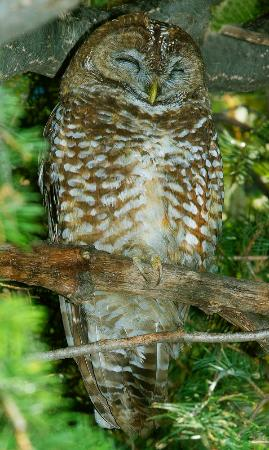 Hampton Inn Sierra Vista: Spotted Owl is the star of nearby Miller Canyon