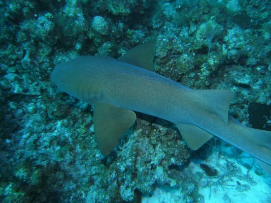 Finn the nurse shark photo de deep blue divers grand - Dive deep blue ...