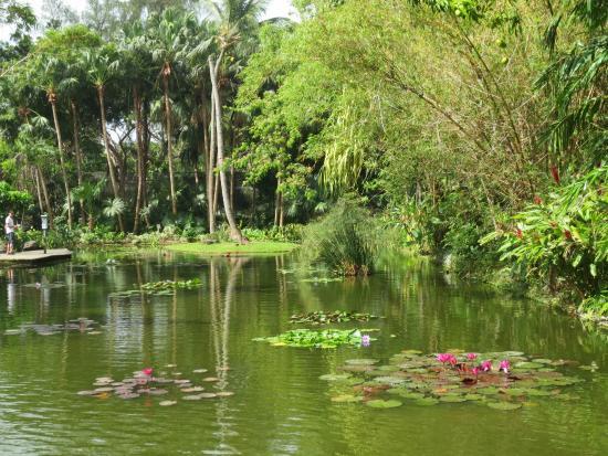 Palmier du voyageur picture of jardin botanique de for Jardin botanique deshaies