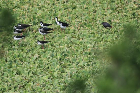 Bubali Bird Sanctuary: Black necked stilts