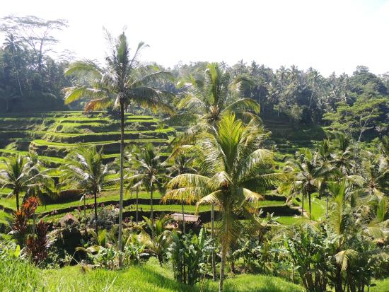Lots of steps picture of tegalalang rice terrace ubud for Tegalalang rice terrace ubud