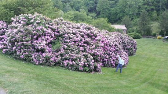Boyd Mountain Log Cabins: Rhododendron in bloom. The person is me and is in the picture only for scale.