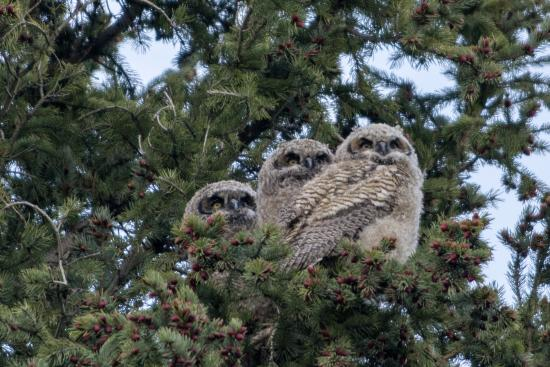Elkhorn Lodge Chama: Great Horned Owlets