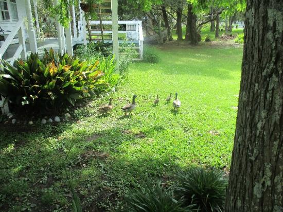 Crews Inn B&B: Ducks come to check on you