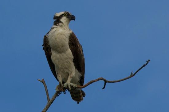 Faraway Inn's resident osprey