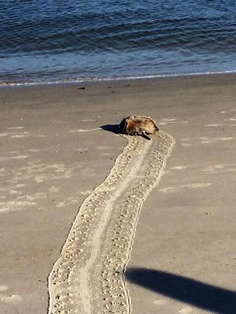 North Beach: A horseshoe crab making it's way back to the water