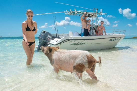 Treasure Cay Beach, Marina & Golf Resort: The Swimming Pigs are only a short boat ride away. Get there early when they are still hungry