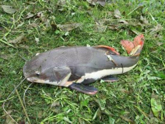 Teak Tree Lake: redtail catfish