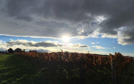 The Vines: The Vineyard