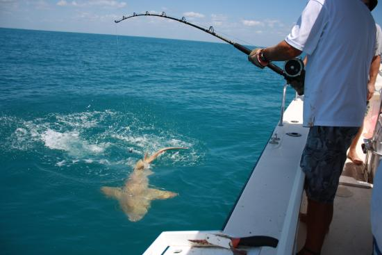 60 lb cobia on half day trip picture of island fever for Fort myers beach fishing
