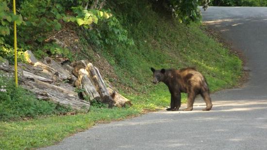 Chalet Inn: Black bear outside room #230