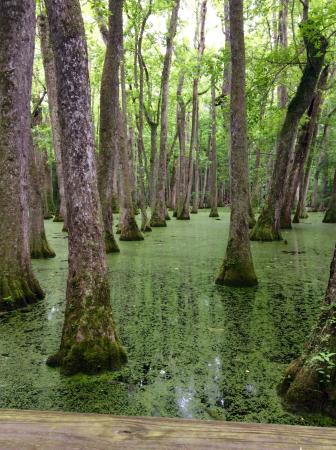 Natchez, MS: Tupelo-Baldcypress Swamp