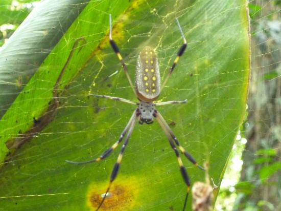 Martina's Place Day & Night Tours: Banana spider