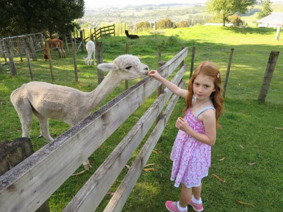 City Lights Boutique Lodge: feeding the alpacas with view of town in the distance