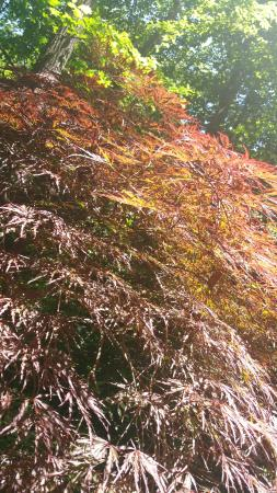 Hatcher Garden & Woodland Preserve: More Japanese Maples…Large and Lovely!
