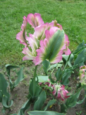 Botanical Garden: My favourite tulip