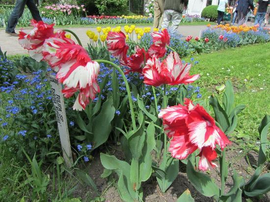 Botanical Garden: Another of the tulip varieties