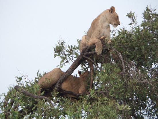 Aqua Paradise Safaris Day Tours: Hungrige Löwen!